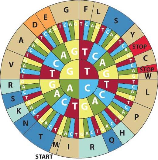 Μετάφραση - Κύκλος κωδικονίων αμινοξέων