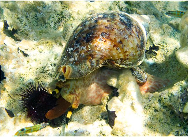 Πηγή: Natura Graeca (μία μπουρού - γαστερόποδο μαλάκιο - επιτίθεται σε έναν αχινό στην Δονούσα)