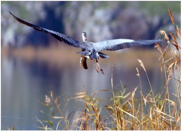 Πηγή: NaturaGraeca (ένας σταχτοτσικνιάς, στους Ψαράδες της Πρέσπας, κουβαλάει με το ράμφος του έναν νεροαρουραίο, ψάχνοντας ένα ήρεμο σημείο για να τον καταβροχθίσει)