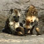 Μωρά ύαινας…