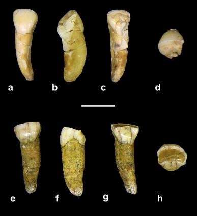Διαφορετικές όψεις δύο κοπτήρων που βρέθηκαν στην σπηλιά Καλαμάκια της Δυτικής Μάνης (Πηγή: Journal of Human Evolution)