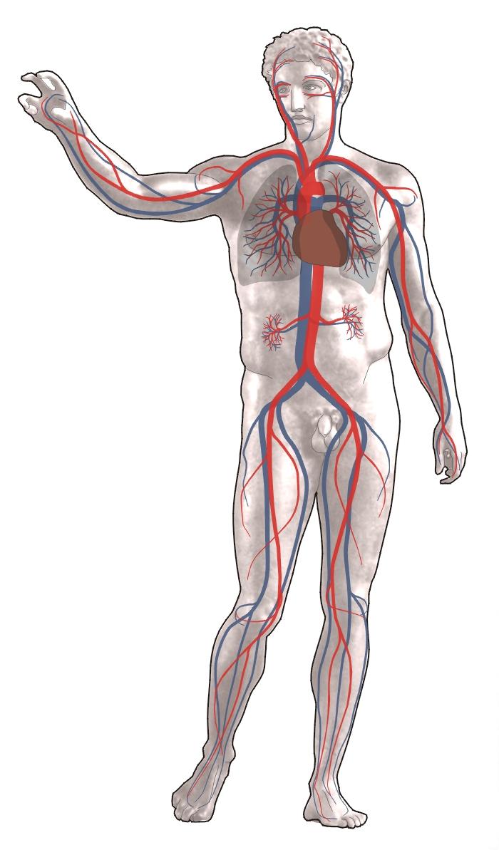 Κυκλοφορικό σύστημα ανθρώπου