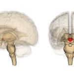 Το Νευρικό Σύστημα του Ανθρώπου