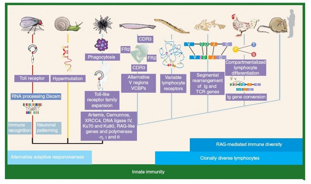 Ανοσοβιολογικό σύστημα - 4