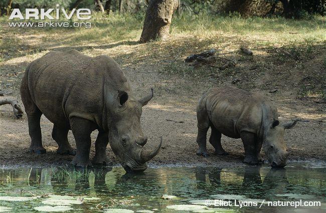Λευκός Ρινόκερος (Ceratotherium simum), Πηγή: Arkive.org