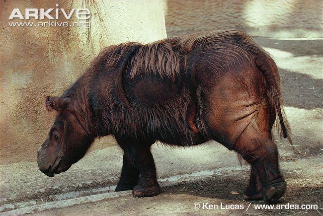 Ρινόκερος της Σουμάτρας (Dicerorhinus sumatrensis)Πηγή: Arkive.org