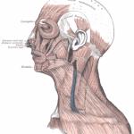 Δομή και λειτουργία των μυών