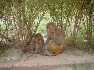 Rhesus_Macaques