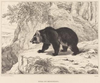 bear_nga