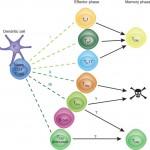 Τ-βοηθητικά κύτταρα μνήμης: παραγωγή, επανεργοποίηση και επανακαθορισμός