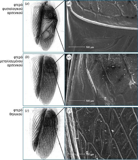Πηγή: Understanding Evolution (Η μορφή των φτερών σε μεταλλαγμένα και άγριου τύπου αρσενικά καθώς και σε θηλυκά)