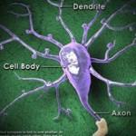 Η λειτουργία του νευρώνα: πόστερ μεγάλων διαστάσεων σε ψηφιακή μορφή