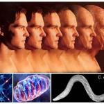 Νέος κυτταρικός μηχανισμός συσχετίζει τη δημιουργία και καταστροφή των μιτοχονδρίων με τη γήρανση