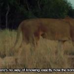 Λιοντάρια στο Πάρκο Gorongosa National Park